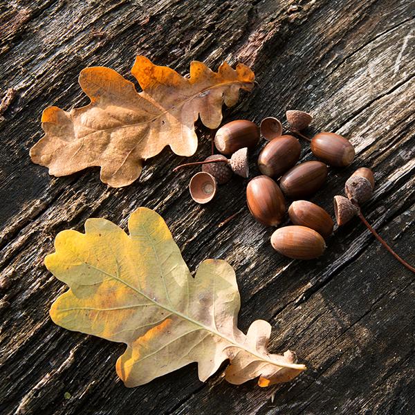 چوب بلوط و انواع رایج مورد استفاده آن
